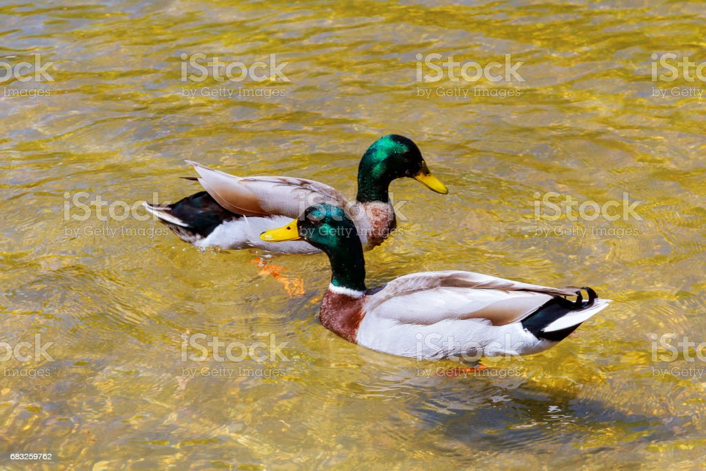 close-up of a young couple of male and female ducks in love swimming clean lake foto de stock royalty-free