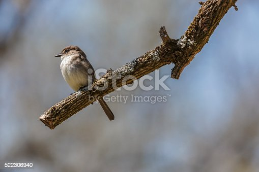 A closeup of a young Eastern Phoebe (Sayornis phoebe) perched on a tree limb.