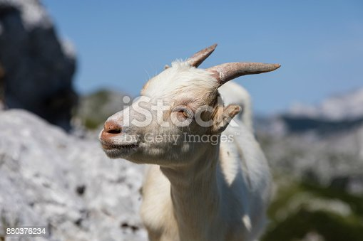 istock Closeup of a young goat head in the alps of Slovenia 880376234