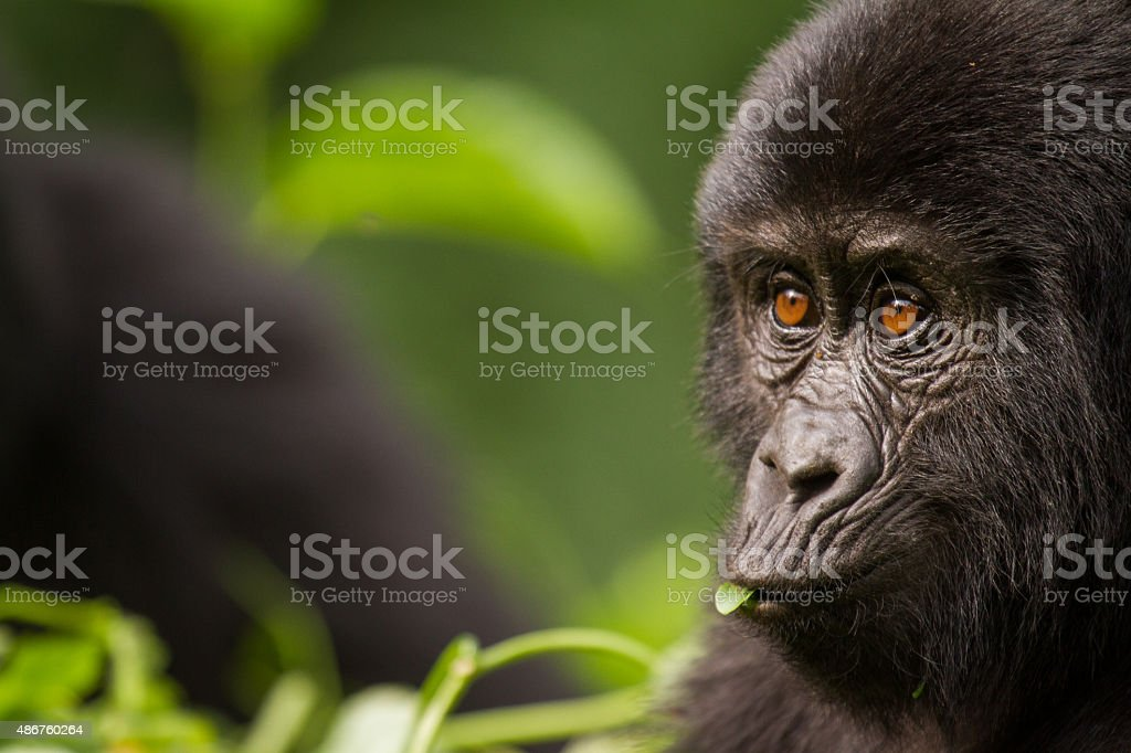 Close-up of a Young Mountain Gorilla stock photo