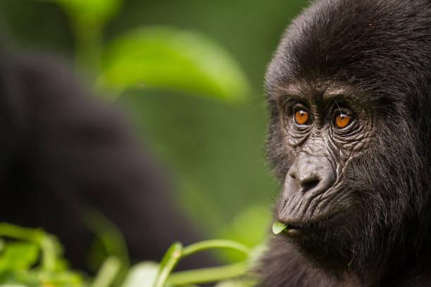 primer plano de una joven gorila de montaña - gorila fotografías e imágenes de stock