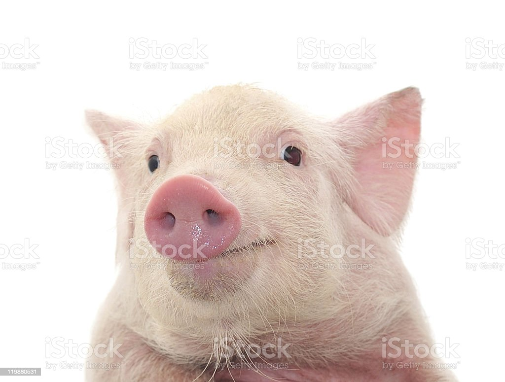 Close-up of a young pig's face on white background stock photo