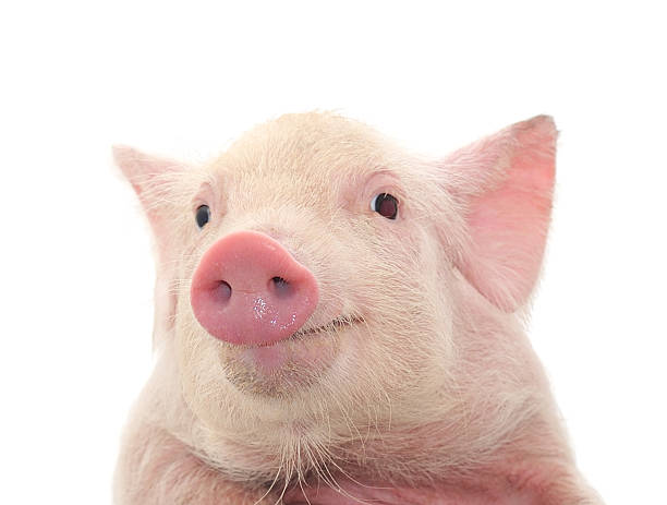 Close-up of a young pig's face on white background