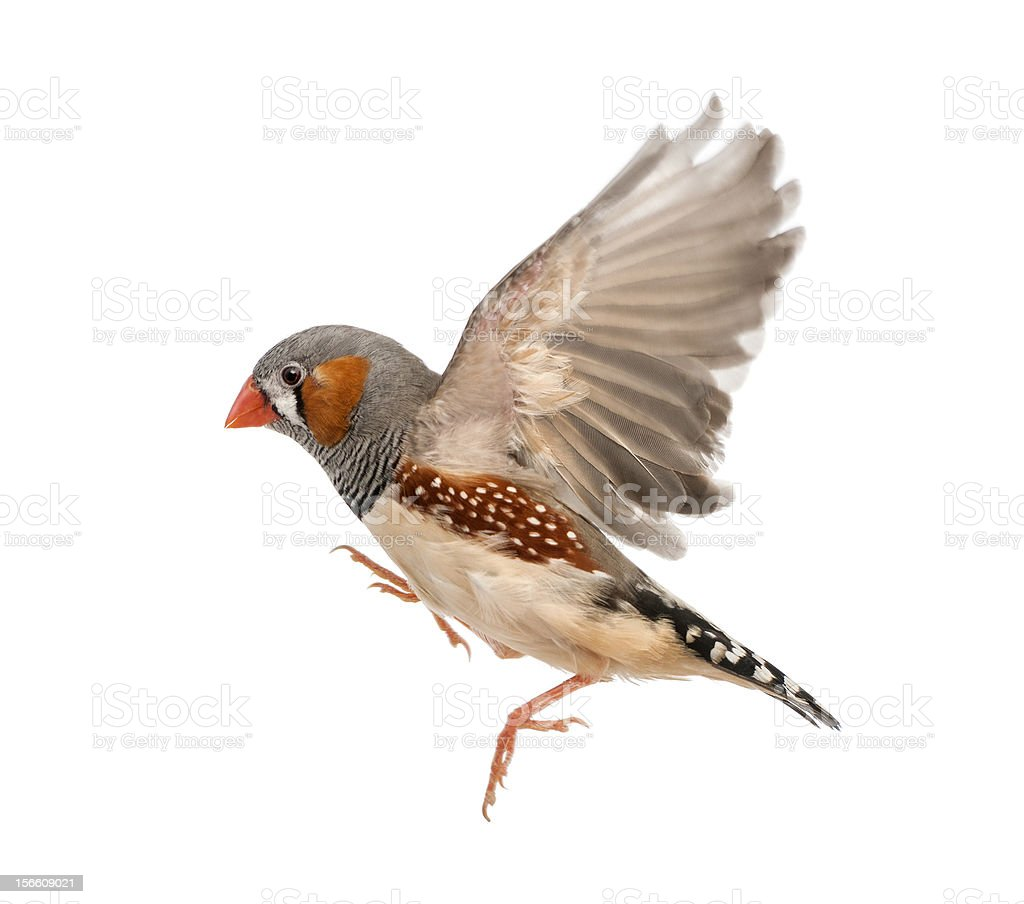 Close-up of a Zebra Finch against white background stock photo