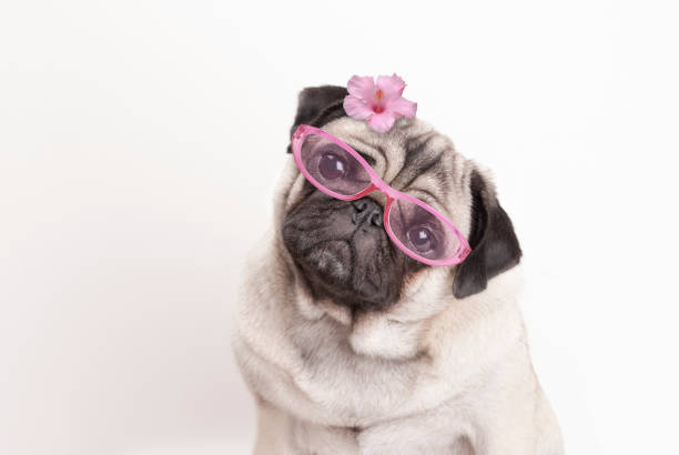 Close-up of adorable pug puppy dog wearing pink reading glasses and flower stock photo