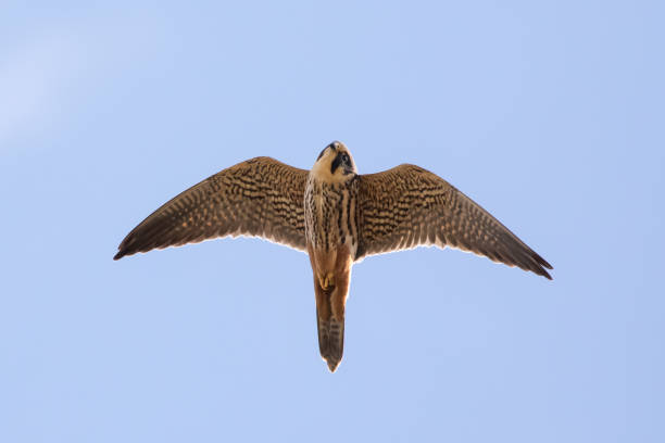 close-up of adult eurasian hobby falcon (falco subbuteo) flying, in flight overhead, showing underside underwing and red rump trousers, looking down - falcon bird stock photos and pictures