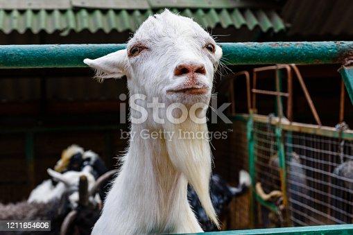 510797127 istock photo Closeup of adult goat on a farm 1211654606