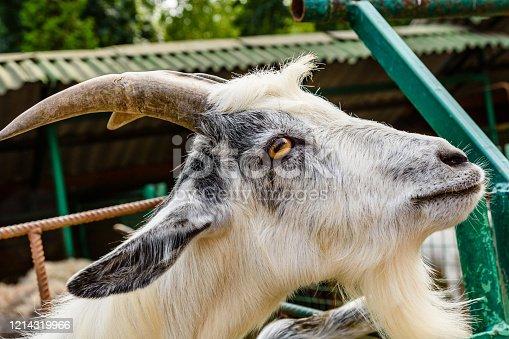 510797127 istock photo Closeup of adult goat on a farm 1214319966