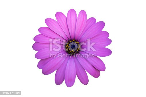 Chamomile flowers in ice cream waffle cone on pink background. Floral flat lay daisy