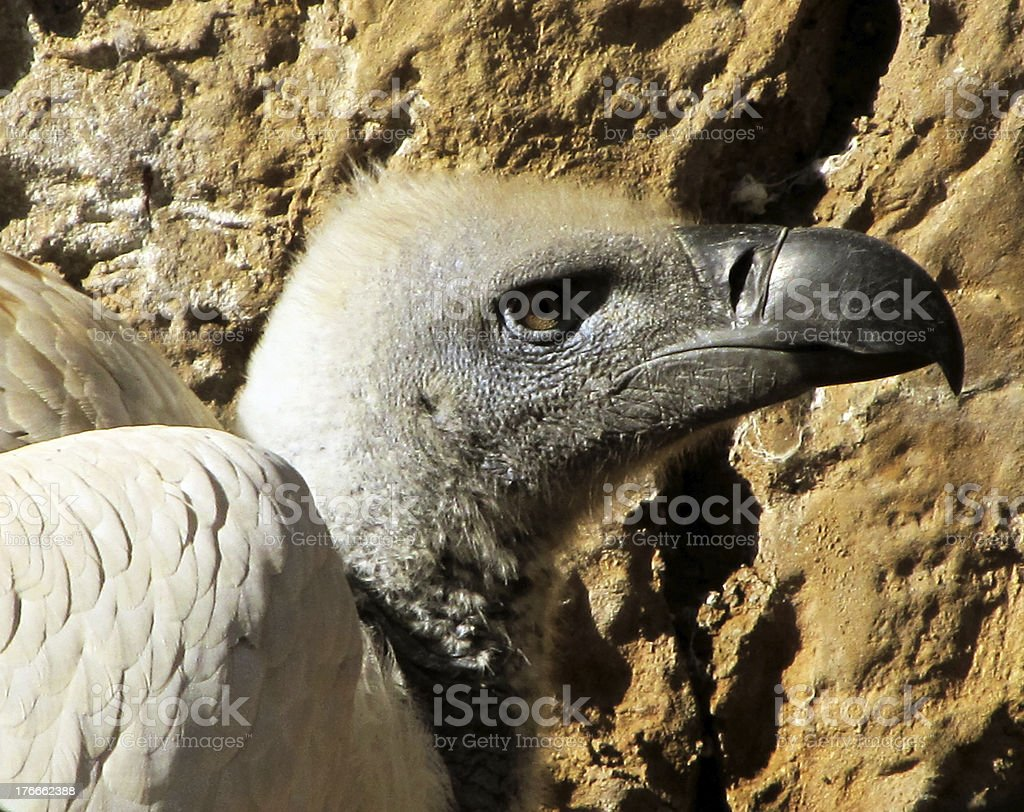 Close-up of African White Backed Vulture head royalty-free stock photo