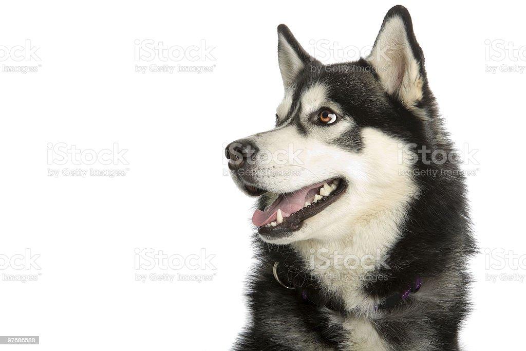 Alaska Malamute de l'Alaska chien - Photo