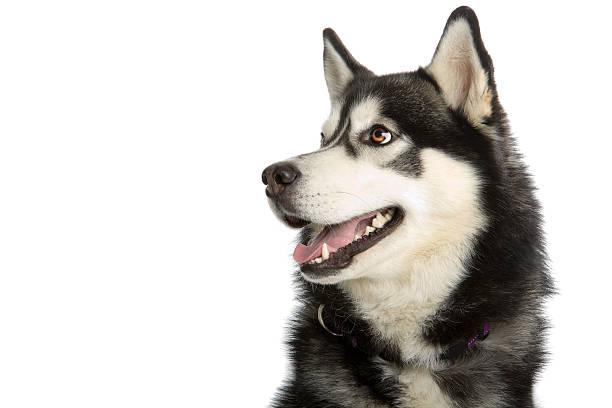Close-up of Alaska Malamute dog Alaska Malamute dog isolated on a white background sled dog stock pictures, royalty-free photos & images