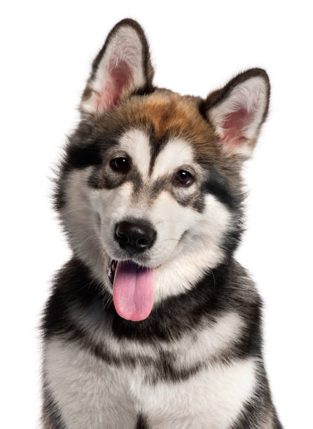 Close-up of Alaskan Malamute puppy, 5 months old, in front of white background Close-up of Alaskan Malamute puppy, 5 months old, in front of white background malamute stock pictures, royalty-free photos & images