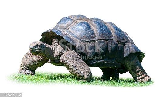 istock Closeup of Aldabra Tortoise isolated on white background. 1220221408