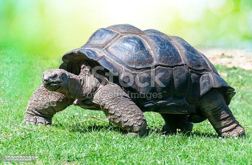 istock Closeup of Aldabra Tortoise on grass 1220222231