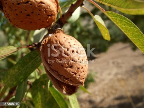 detail of an almond tree