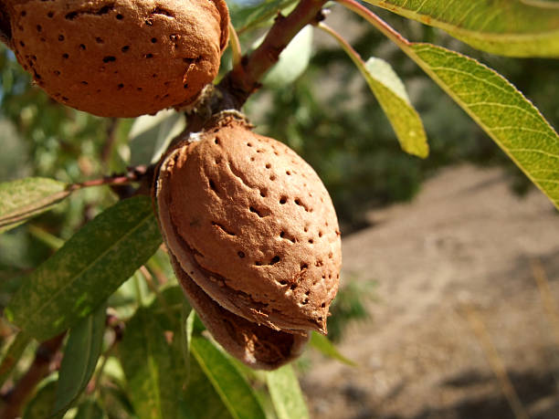 Close-up of almond shell growing on a tree branch stock photo
