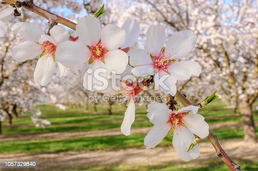 Close-up of almond tree spring time blossoms.  Taken in the San Joaquin Valley, California, USA.
