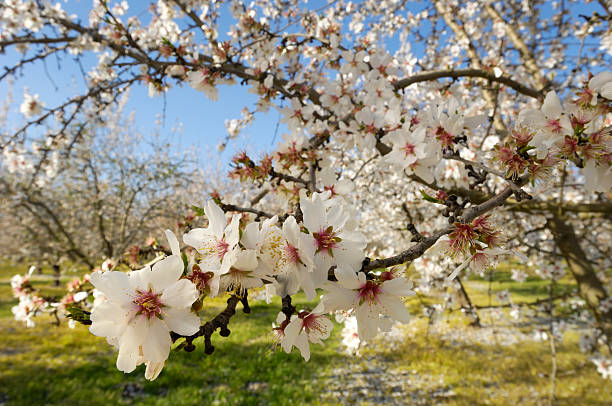 Close-up of Almond Tree Blossoms stock photo