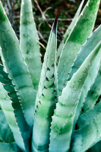 Closeup of Aloe Vera plant captured in desert, USA stock photo