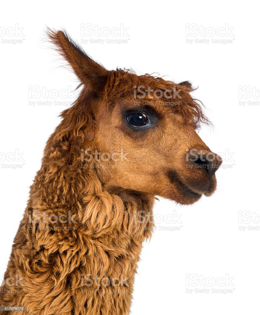 Close-up of Alpaca against white background stock photo