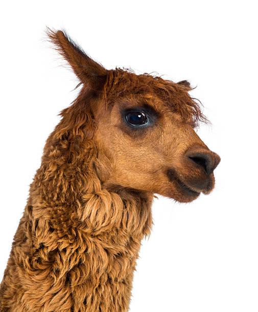 nahaufnahme von alpaka gegen weißer hintergrund - lama kamelartige stock-fotos und bilder