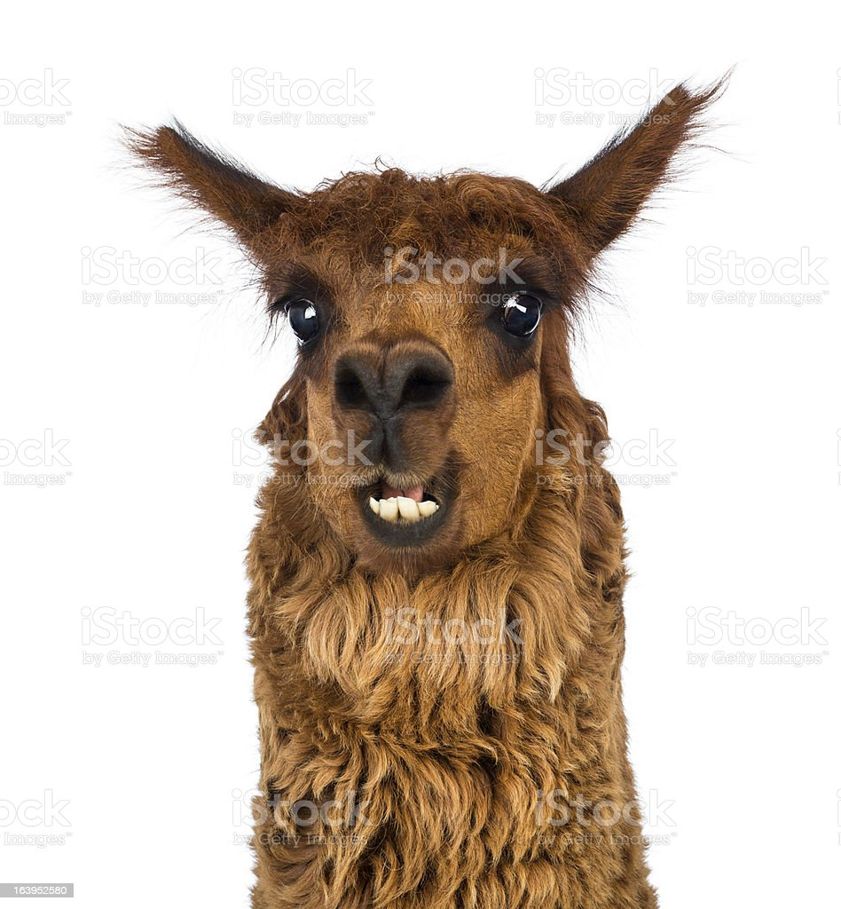 Close-up of Alpaca smiling against white background stock photo