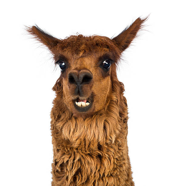 nahaufnahme von alpaka, lächelt vor weißem hintergrund. - lama kamelartige stock-fotos und bilder