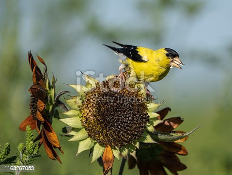 American Goldfinch (spinus trusts) perched on sunflower on late summer morning.