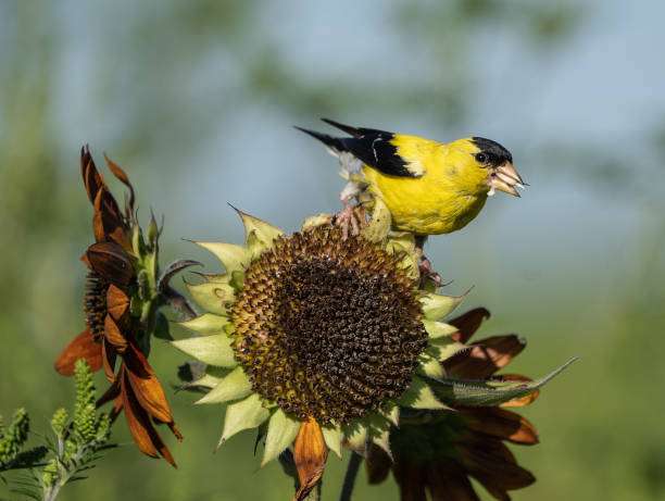 Close-up of American Goldfinch on sunflower American Goldfinch (spinus trusts) perched on sunflower on late summer morning. gold finch stock pictures, royalty-free photos & images
