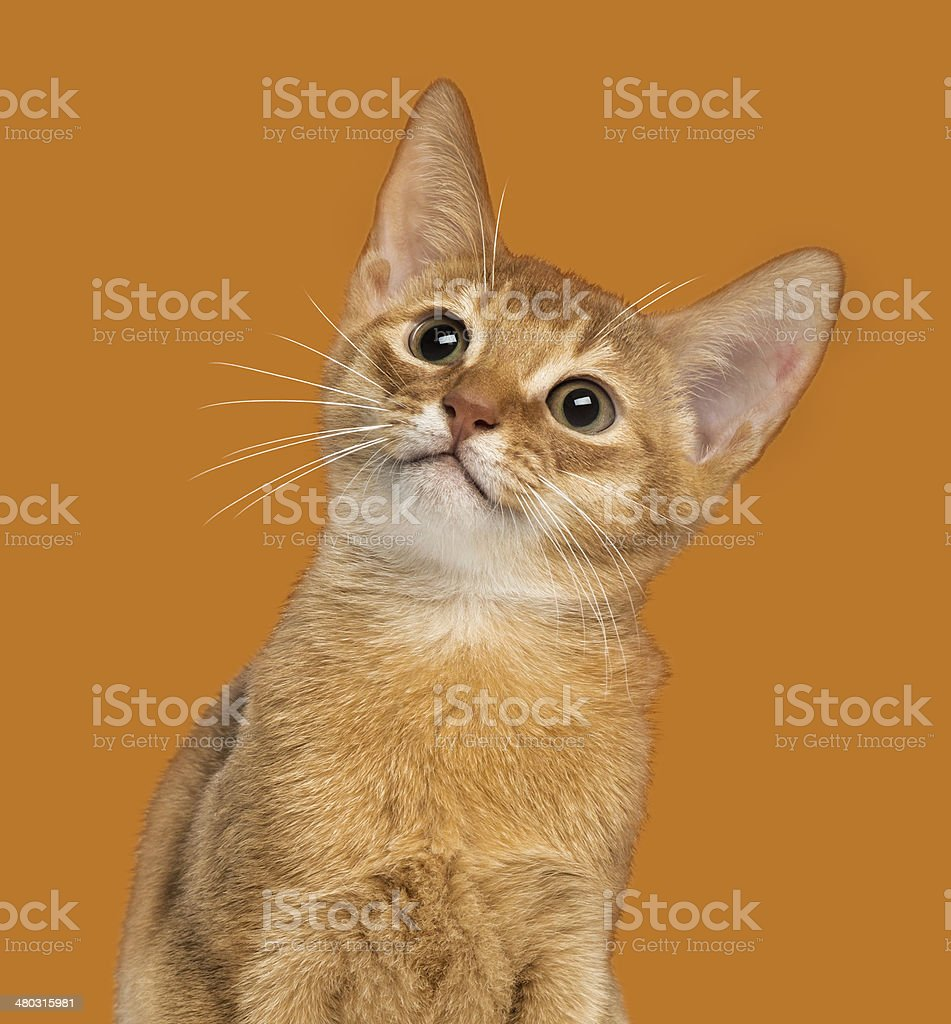 Close-up of an Abyssinian kitten looking up, 3 months old stock photo