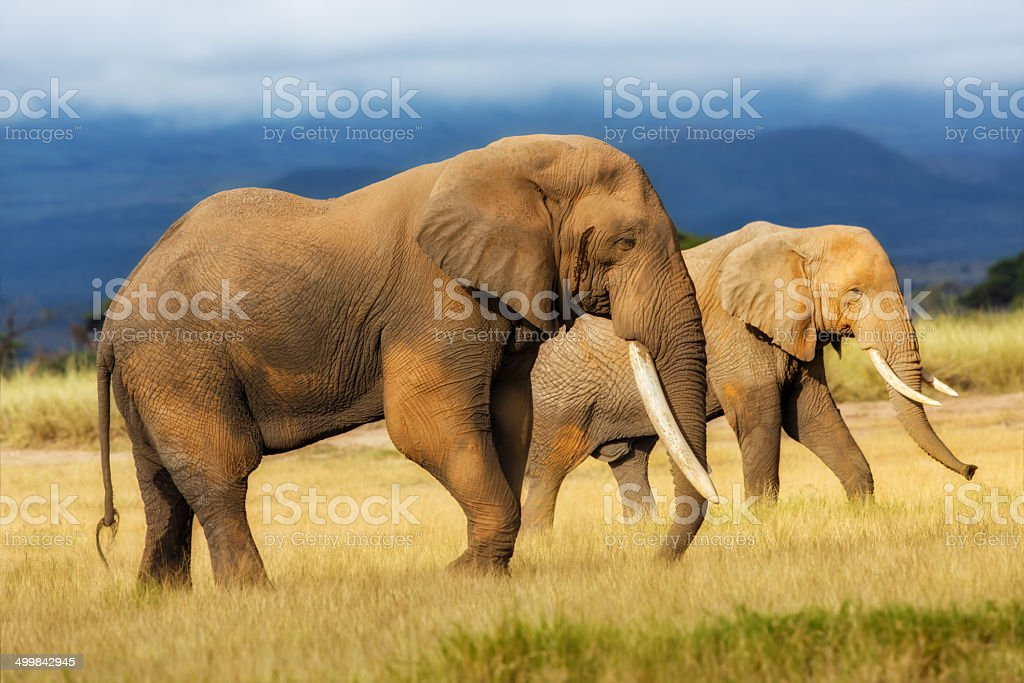 Closeup of an African Elephant with very big tusks stock photo