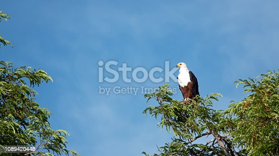 Close-up of an African fish eagle sitting on top of a branch in Matusadona National Park, Zimbabwe.