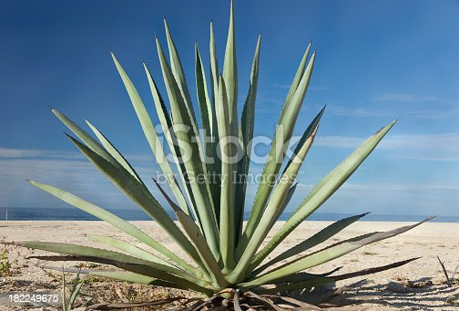 agave the plant that comes  the tequila in mexico