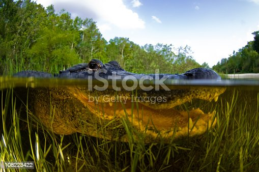 American Alligator, Alligator mississipiensis, Split over and under water shot, Florida Everglades