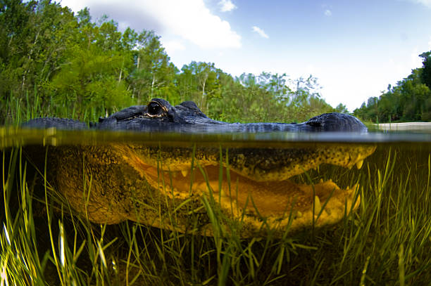 A closeup of an alligator under water stock photo