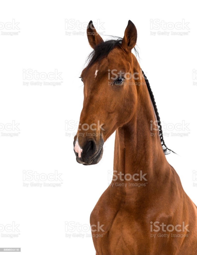 Close-up of an Andalusian horse stock photo