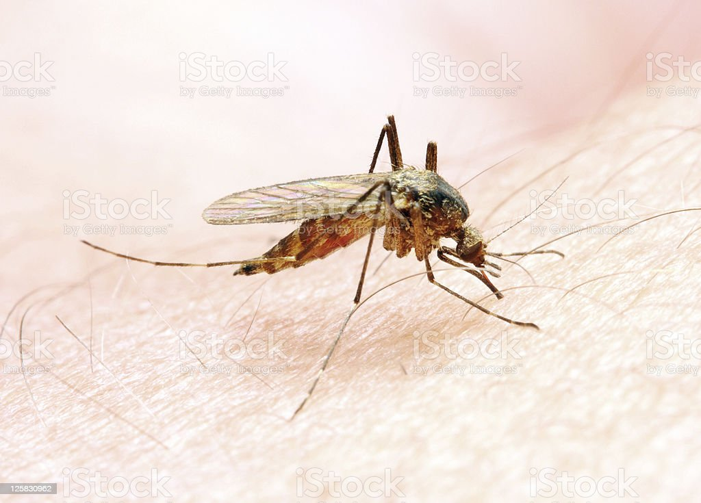 Close-up of an Anopheles mosquito on human skin stock photo