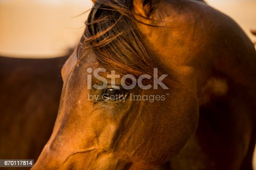 Close-up of an Arab brown horse in the desert