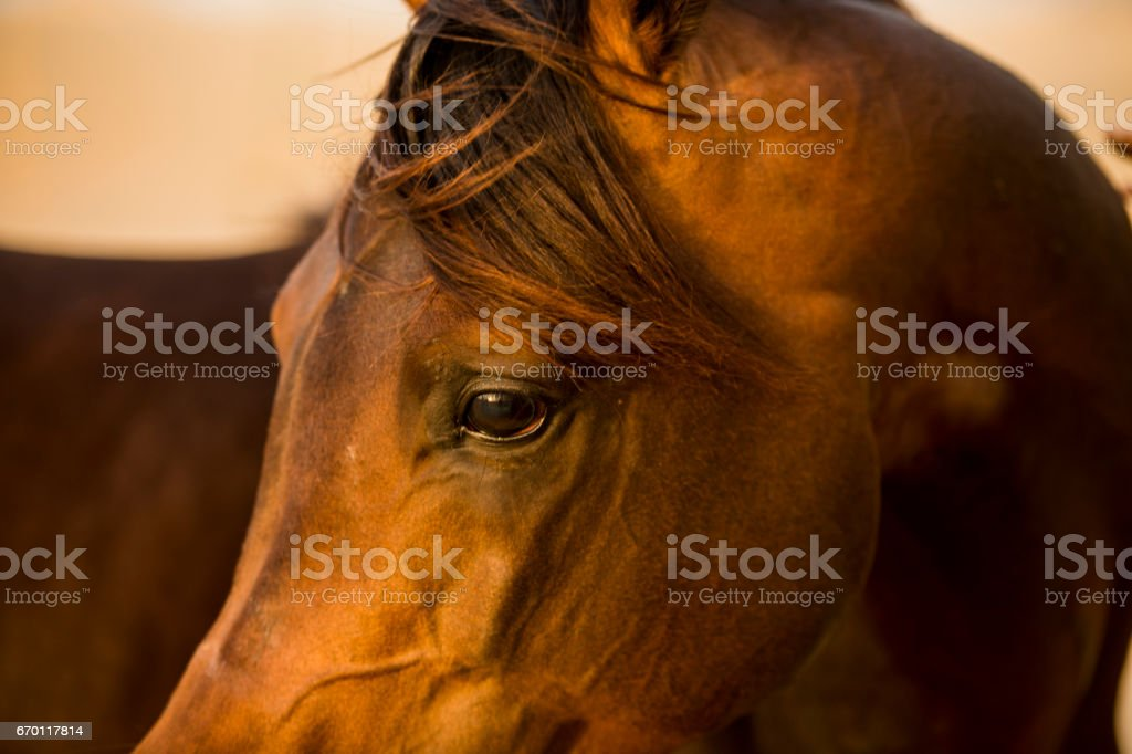 Close-up of an Arab brown horse in the desert stock photo