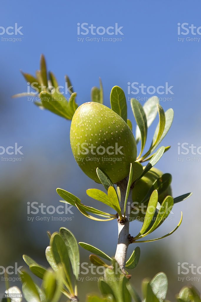 Closeup of an argan nut stock photo