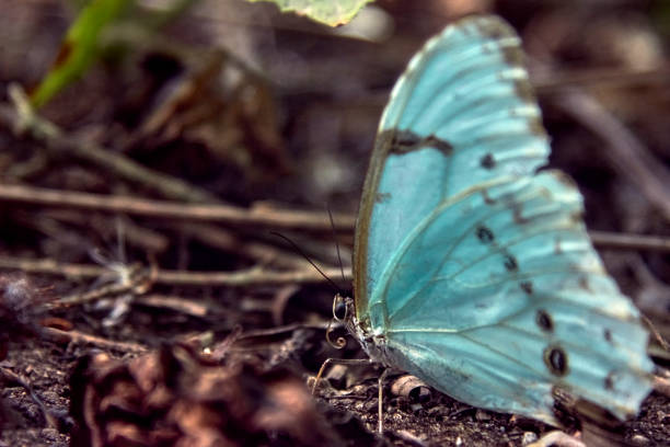 Close-up of an Argentinian flag butterfly (Morpho epistrophus argentinus). beautiful insect in their natural habitat. stock photo