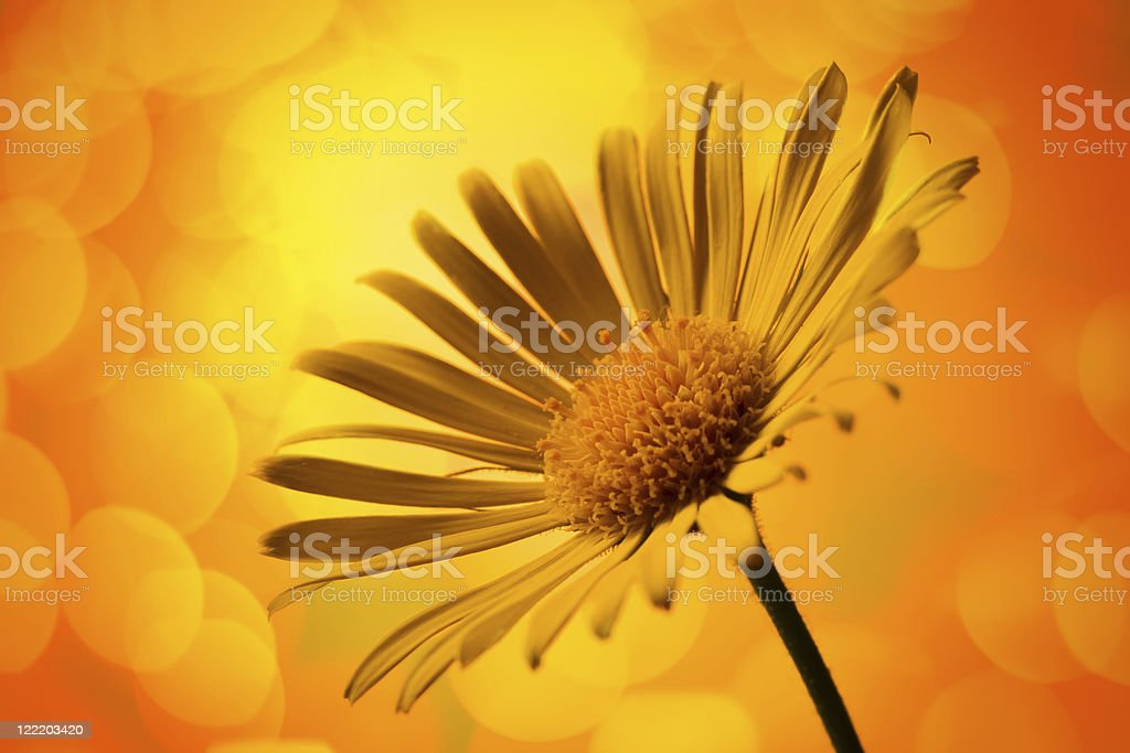 Close-up of an Arnica Montana flower with yellow background stock photo