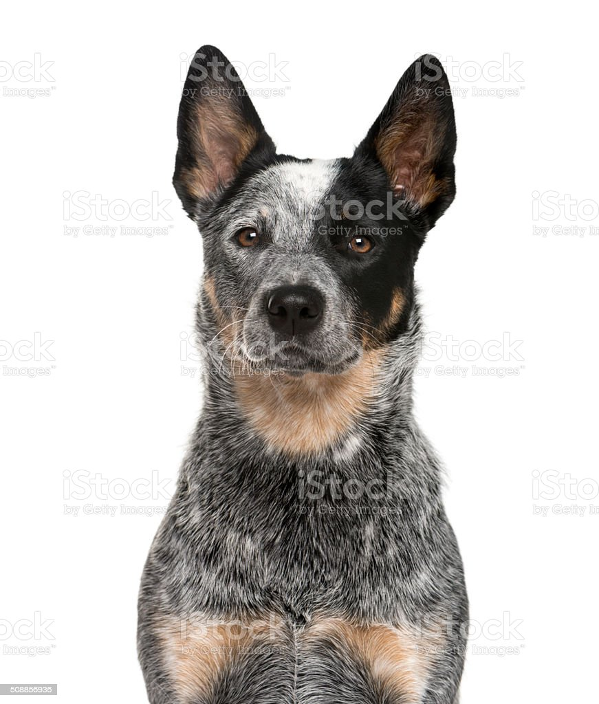 Zbliżenie z Australijski pies pasterski – zdjęcie