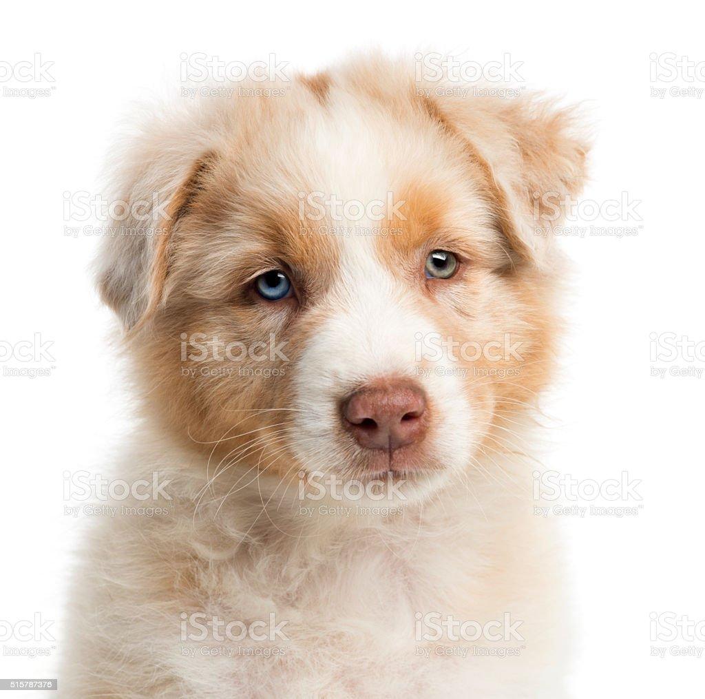 Close-up of an Australian Shepherd puppy, 8 weeks old, portrait stock photo