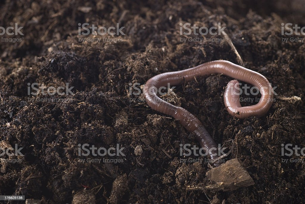 Closeup of an earthworm in the dirt bildbanksfoto