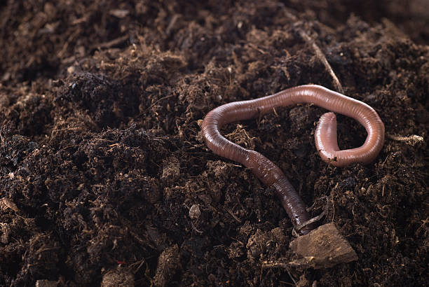 Closeup of an earthworm in the dirt Earthworm in soil. worm stock pictures, royalty-free photos & images