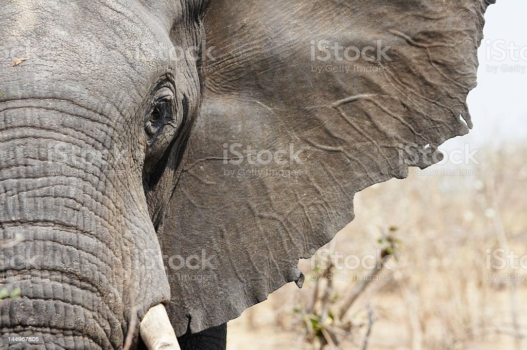 Close-up of an elephant's trunk, face and ear stock photo
