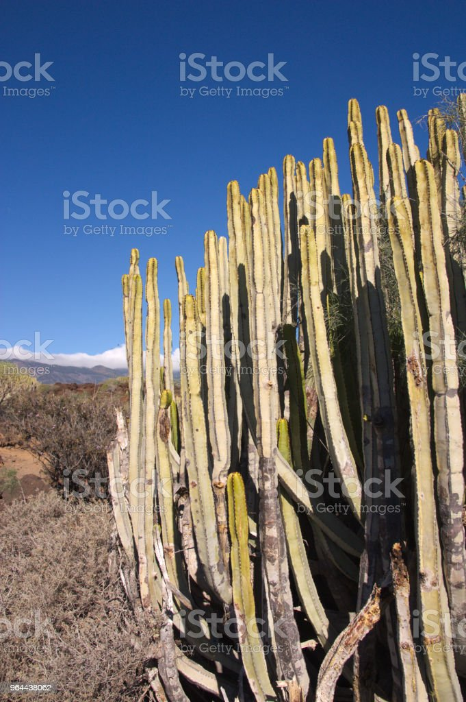 Close-up of an Euphorbia canariensis. - Royalty-free Agricultural Field Stock Photo