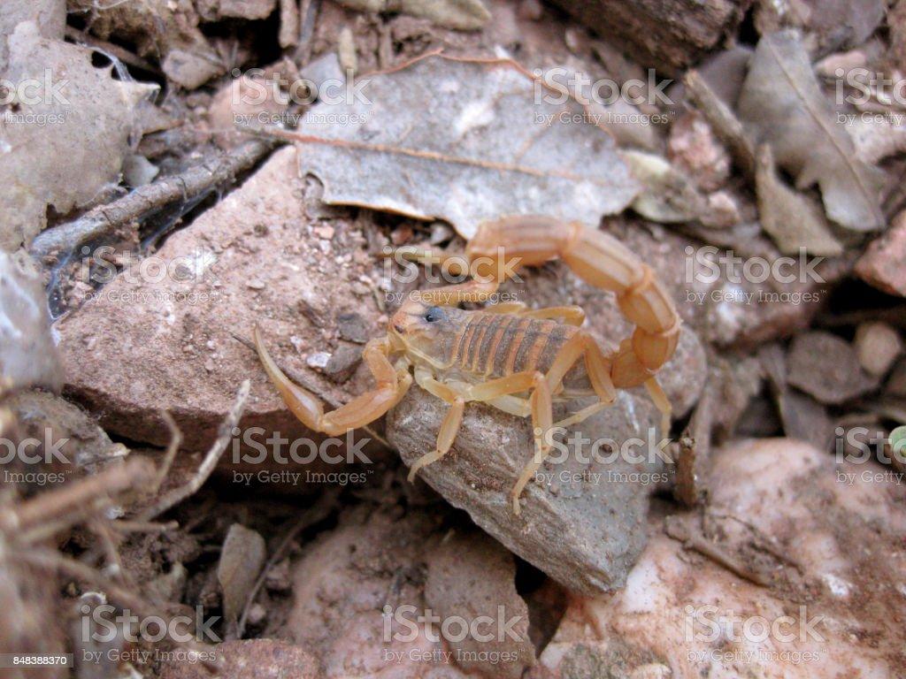 closeup of an european scorpion, Buthus stock photo